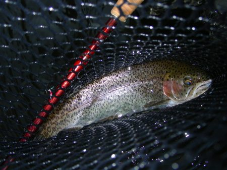 "14"" rainbow trout in the net"