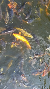 I threw a little celebration with the koi. They ate well!