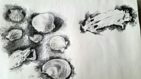 First Sketch of a Hard Head Catfish Skull