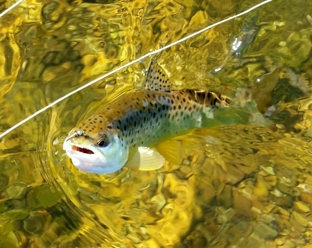 brown trout 1 photoshopped