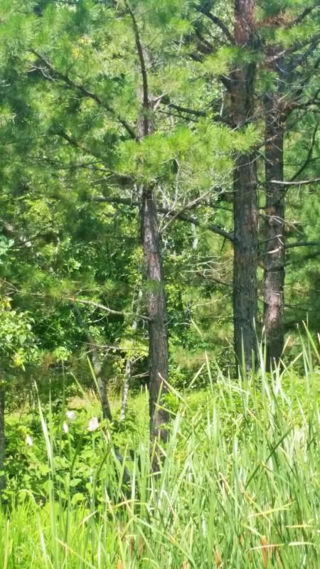 pines photo (2)